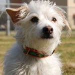 Percy~ Terrier Mix ~ Handler: Nancy Chauncey