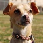 Meet Annie~ Chihuahua Mix~ Handler: Diane de Freitas