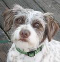Wilbur~Terrier Mix~Handler: Stephanie Alvord