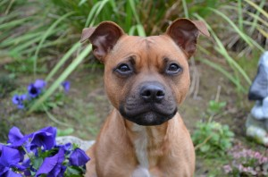 Chile~Staffordshire Bull Terrier~Handler: Maria Fermoile