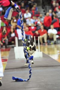 Finn wears his Z Boots Faithfully on the Flyball Course!